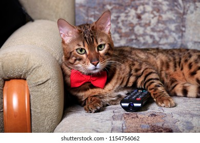A beautiful home Bengali cat lies on the couch with a TV remote control