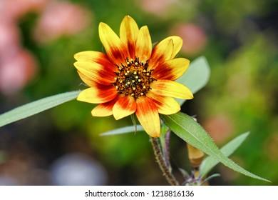 Beautiful homegrown Firecracker Sunflower with natural background. Homegrown sunflower
