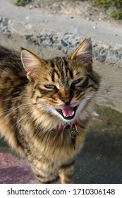 A beautiful homeless cat sits loudly meows on the street of Limassol. Cyprus is an island of cats. Travel to the island of Cyprus.