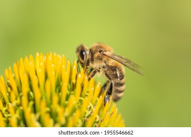 Beautiful honey bee closeup on flower gather nectar and pollen. Animal sitting for pollination. Important insect for environment ecology ecosystem. Awareness of nature climate change sustainability