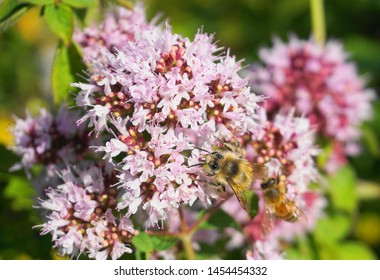 Beautiful honey bee collecting nectar from showy and bright Centranthus ruber flowers close up. Also known as red valerian, or spur valerian.