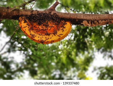 Beautiful honeybee hive being newly built by worker bees. The picture shows wild worker honey bees building a new home on a tree branch using yellow orange beeswax