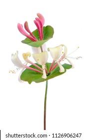 Beautiful Honeysuckle Flower on White Background
