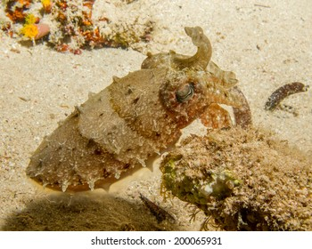 Beautiful hooded cuttlefish at night