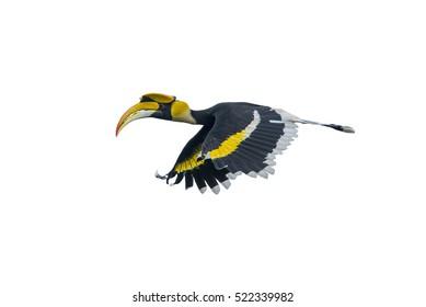 Beautiful Hornbill Bird,Hornbill isolated on white background