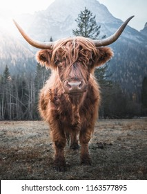 Beautiful horned Highland Cattle enjoying the Sunrise on a Frozen Meadow in the Italian Dolomites