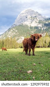 Beautiful horned Highland Cattle enjoying the Sunset on a Meadow in the Italian Dolomites, Italy