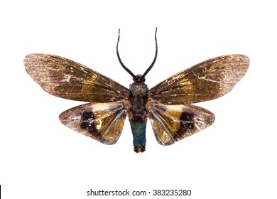Beautiful horned moth with light brown wings isolated on white. Sphingidae, hawk moth.