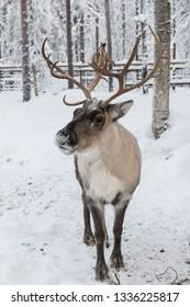 Beautiful horned  reindeer closeup portrait against winter snowy forest