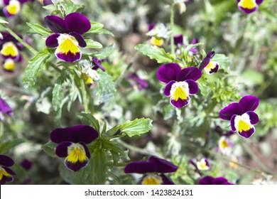 Beautiful Horned Violet (viola Cornuta). viola flower in garden.