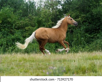 A beautiful horse canters loose through a paddock.