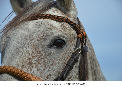 Beautiful horse eyes, gray horse with bridle