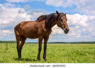 Beautiful horse grazing in a meadow