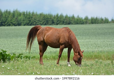 Beautiful horse grazing in summer - Shutterstock ID 1997892116