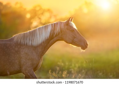 Beautiful horse with long blond mane portrait at sunset light