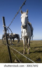 A beautiful horse on a green field with a bright blue sky, behind a barbed wire fence, on a wide angle photograph.
