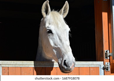 Beautiful horse peeks out the window
