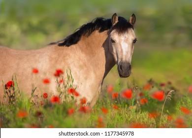 Beautiful horse in poppy flowers