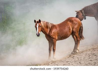 Beautiful horse run gallop in dust.