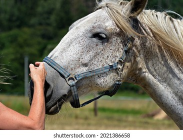 Beautiful horses and friendship with people - Shutterstock ID 2021386658