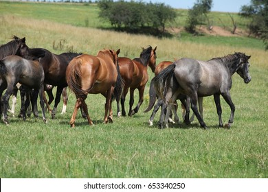 Beautiful horses going together on pasturage in summer