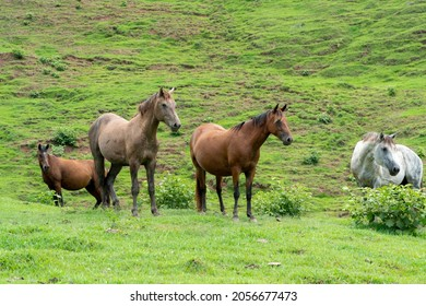 Beautiful horses in the middle of the field in Tamesis, Antioquia, Colombia.
