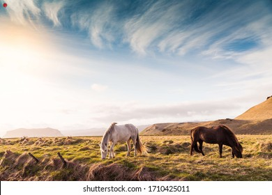 Beautiful Horses from on Iceland