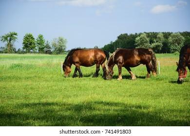 Beautiful horses on pasture.