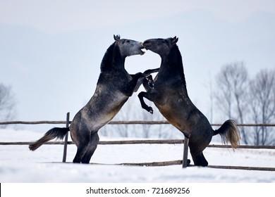 Beautiful horses running outdoor in winter
