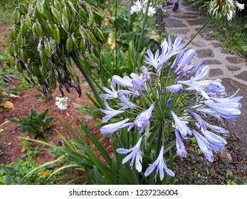 Beautiful Hortencia in garden