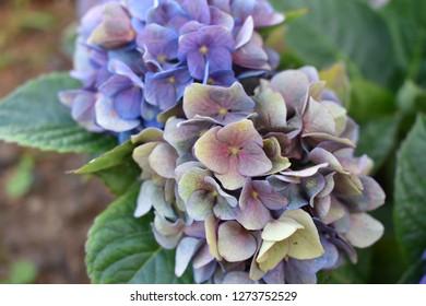 Beautiful Hortensia Flower (Hydrangea Macrophylla) Plant Growing In Algarve Soil Blooming in Pink, Purple, Blue and Beige Colours With Fresh Green Leaves