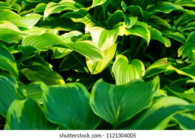 White flower hosta leaves images stock photos vectors shutterstock beautiful host in the gardenlorful leavestural background mightylinksfo