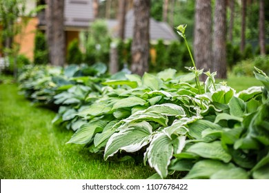 Beautiful Hosta leaves background. Hosta - an ornamental plant for landscaping park and garden design. Large lush green leaves with streaks. Veins of the leaf.