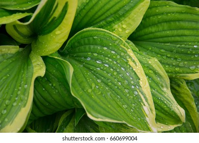 Beautiful Hosta, leaves with raindrops close-up. Backgrounds, textures