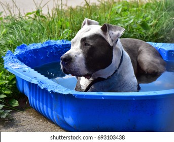 beautiful hot dog cooling off in kiddie pool, dog tired of summer heat relax in bitten blue baby pool, a dog relaxing in water on a hot summer day