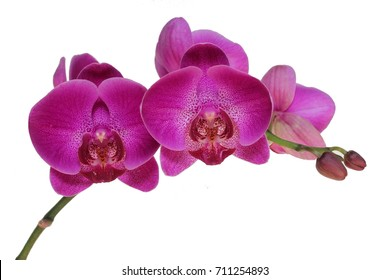 Beautiful Hot Pink Phalaenopsis orchid or common name is Moth orchid in bloom from Thailand