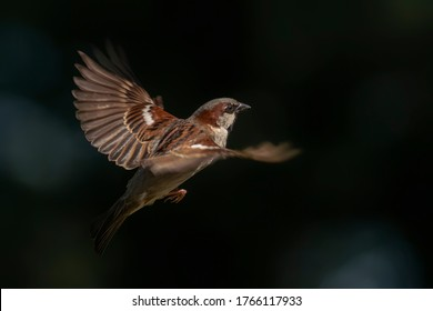 Beautiful House Sparrow male (Passer domesticus) flying on dark and blue bokeh background.