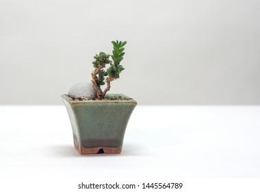 Beautiful houseplant Trichodiadema densum. Bonsai style. Home decor