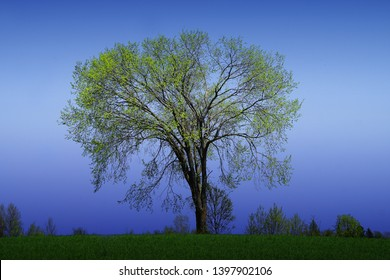 Beautiful huge american elm tree on a blue sky background