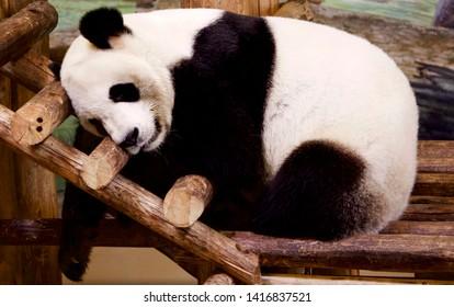 Beautiful huggable sleeping resting cute black and white panda bear on wooden ladder at zoo