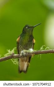 beautiful humminbird - buff tailed coronet