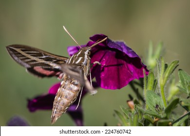 beautiful humming bird moth feeding on purple petunias