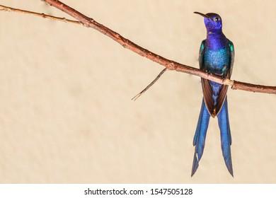 Beautiful hummingbird with a brilliant iridescent green plumage and a blue head. Bird name: Swallow-tailed Hummingbird, Beija-flor-tesoura (Eupetomena macroura)