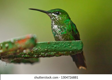 Beautiful Hummingbird as common bird of Central America rainforest