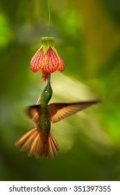 Beautiful  hummingbird Fawn-breasted Brilliant  Heliodoxa rubinoides cervinigularis feeding from red Abutilon flower like bell. Orange wings.Blurred tropical yellow and green background. Ecuador.