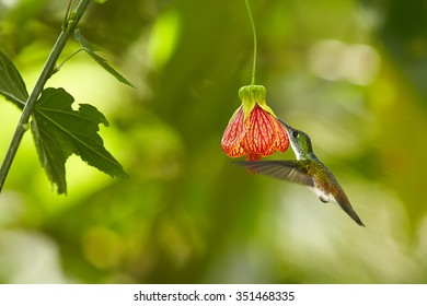 Beautiful hummingbird  feeding from red Abutilon flower like bell. Blurred tropical yellow and green background. Ecuador.