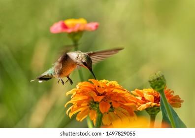 Beautiful Hummingbird getting nectar from an orange Zinnia flower in summer garden