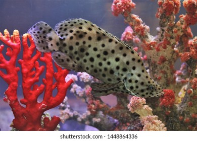 The beautiful humpback grouper (panther grouper or barramundi cod) in marine aquarium. Cromileptes altivelis is a demersal marine fish which belongs to the family Serranidae.
