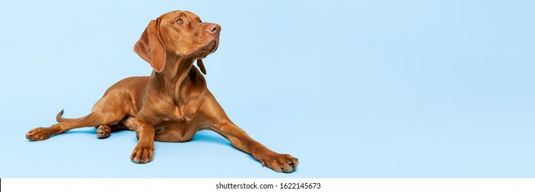 Beautiful hungarian vizsla dog full body studio portrait. Dog lying down and looking up over pastel blue background. Family dog banner.