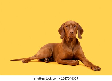 Beautiful hungarian vizsla dog full body studio portrait. Dog lying down and looking at camera over bright yellow background.